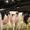 Royal16_Holstein_1M9A1208