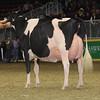 Royal16_Holstein_1M9A1695