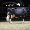 Royal16_Holstein_1M9A1498