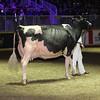 Royal16_Holstein_1M9A1458