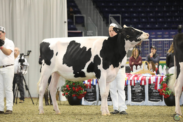 Royal16_Holstein_1M9A9940