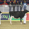 Royal16_Holstein_1M9A9928