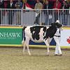 Royal16_Holstein_L32A4130