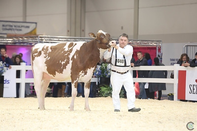 RWF Red Holstein Cows 2016