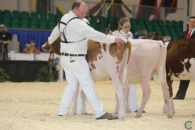 RWF Red Holstein Heifers 2016