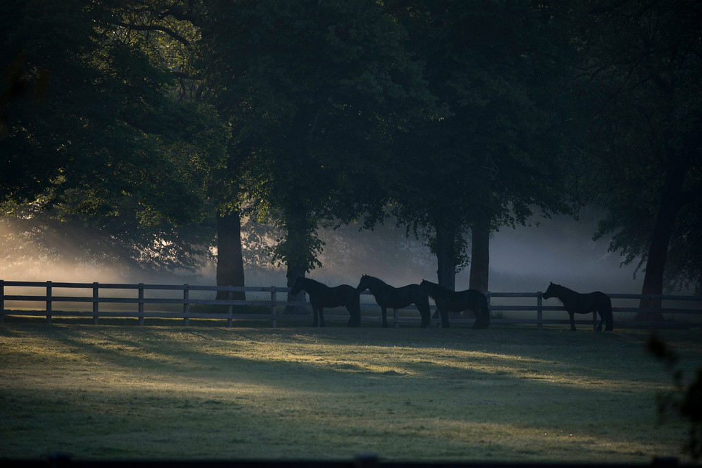 . Horses in a meadow outside Windsor castle stand under the trees as the early morning sun rises prior to the wedding ceremony of Prince Harry and Meghan Markle at St. George\'s Chapel in Windsor Castle in Windsor, near London, England, Saturday, May 19, 2018. (AP Photo/Peter Dejong)