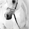 Royal Arabians : 35 galleries with 1130 photos