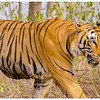 mybioscope > T-28 Star Male Tiger - Ranthambhore National Park, Rajasthan