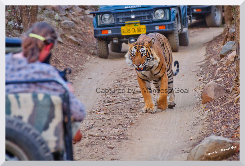 What are you doing in my territory? | T-24 Male Tiger patrolling his territory | Ranthambhore National Park, Rajasthan