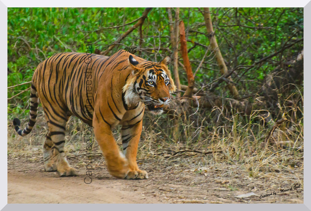 T-24 Male Tiger patrolling his territory | Ranthambhore National Park, Rajasthan