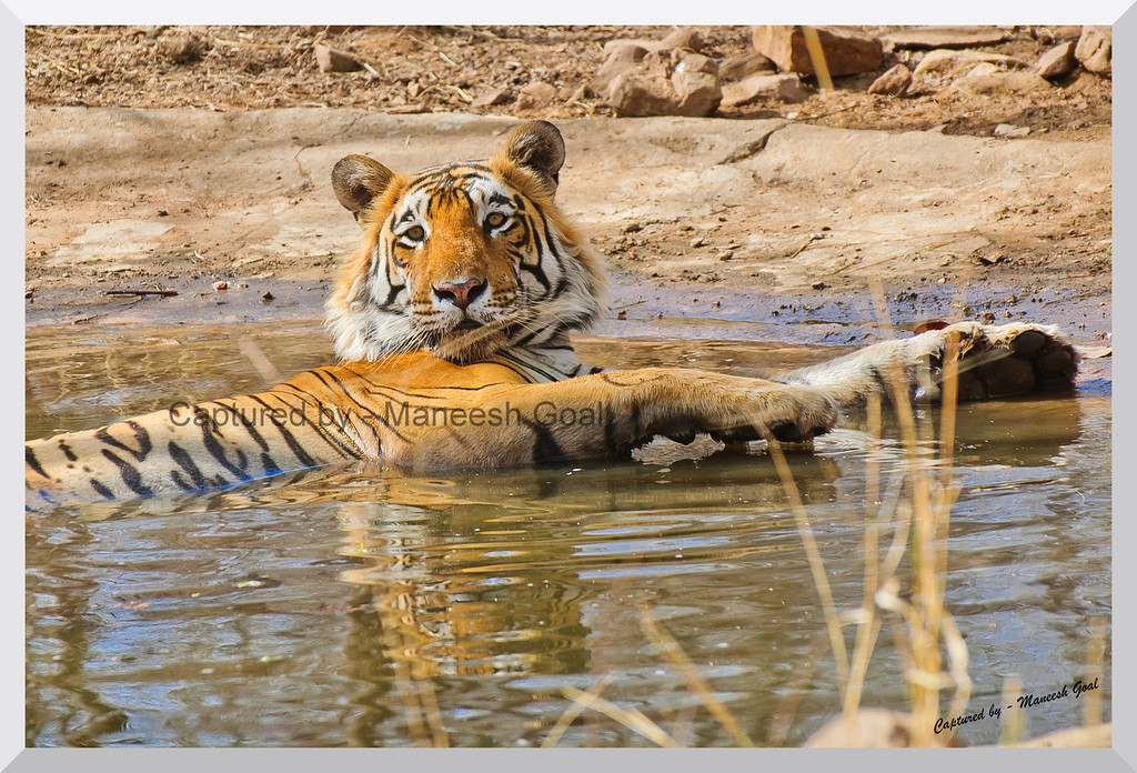 T-28 Star Male Tiger beating the heat in an artificial water hole | Ranthambhore National Park, Rajasthan