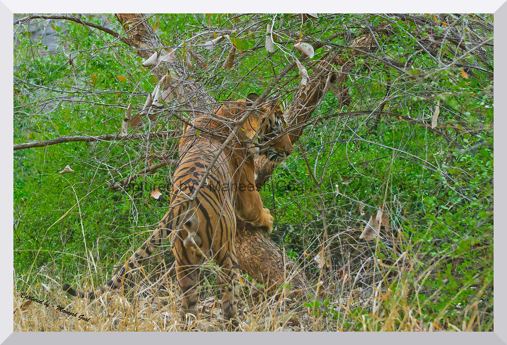 T-24 Male Tiger scratching the tree to mark his territory | Ranthambhore National Park, Rajasthan