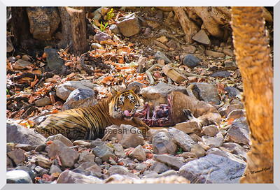 Lip-smacking stuff! T-24 Male Tiger with his Sambhar Deer Kill | Ranthambhore National Park, Rajasthan