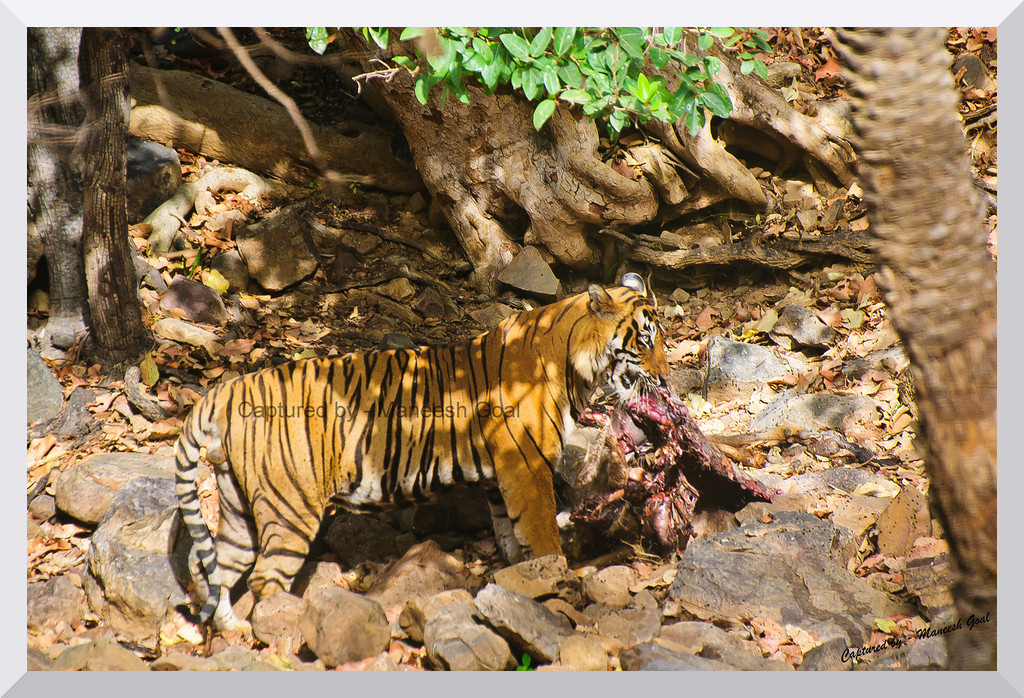 T-24 Male Tiger carrying his Sambhar Deer Kill | Ranthambhore National Park, Rajasthan