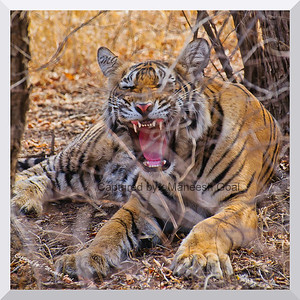 Sub-adult cub of T-19 snarls | Ranthambhore National Park, Rajasthan