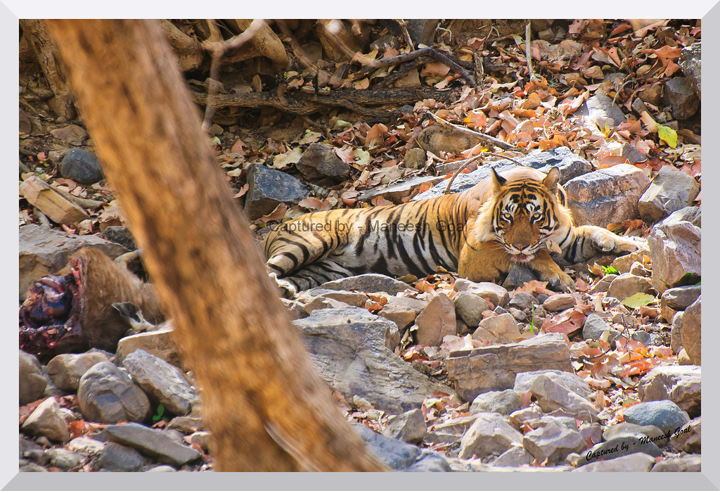 What do you want? | T-24 Male Tiger with his Sambhar Deer Kill (extreme left) | Ranthambhore National Park, Rajasthan