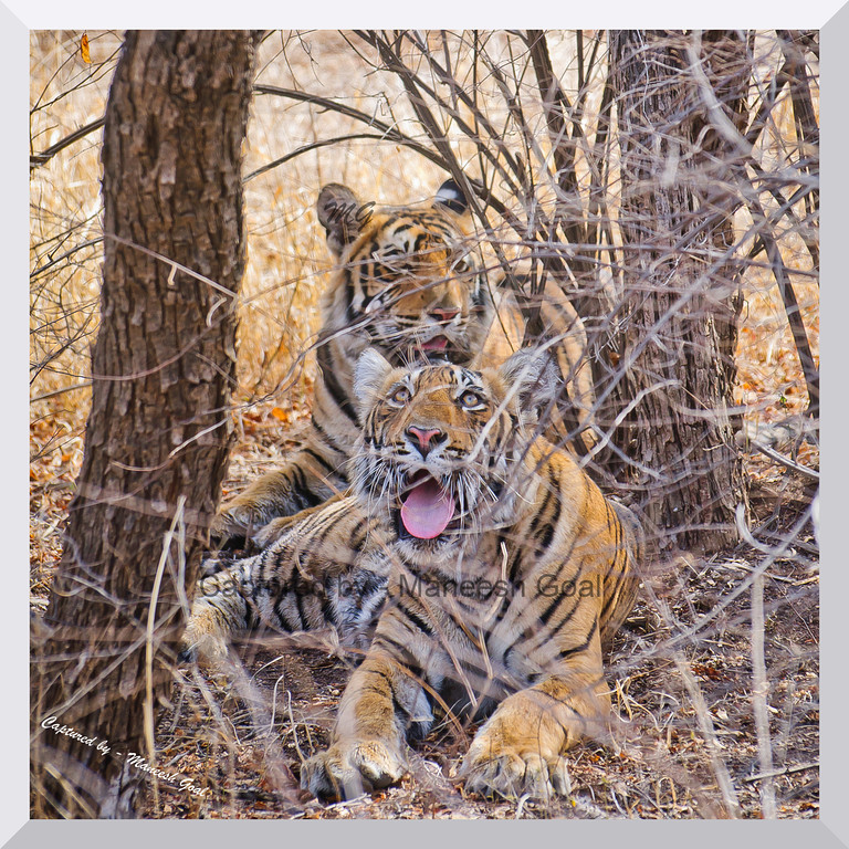 Oh God, save me from the tourists! | Sub-adult cubs of T-19 | Ranthambhore National Park, Rajasthan