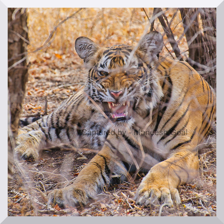 Sub-adult cub of T-19 in an angry mood | Ranthambhore National Park, Rajasthan