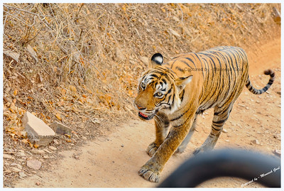 Legendary Machali (Machli) Tigress closing in on our jeep, gulp! - Ranthambhore National Park, Rajasthan
