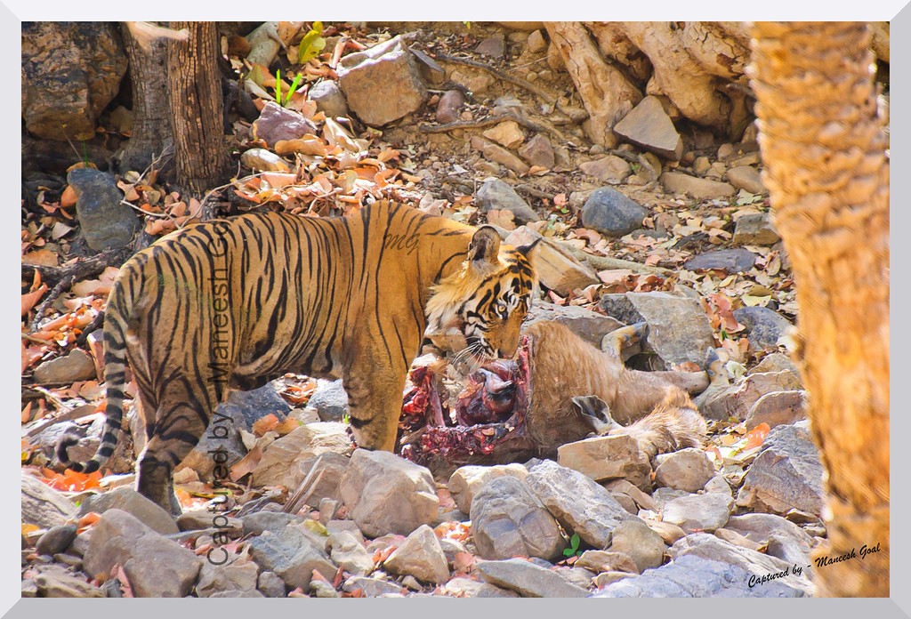 T-24 Male Tiger with his Sambhar Deer Kill | Ranthambhore National Park, Rajasthan