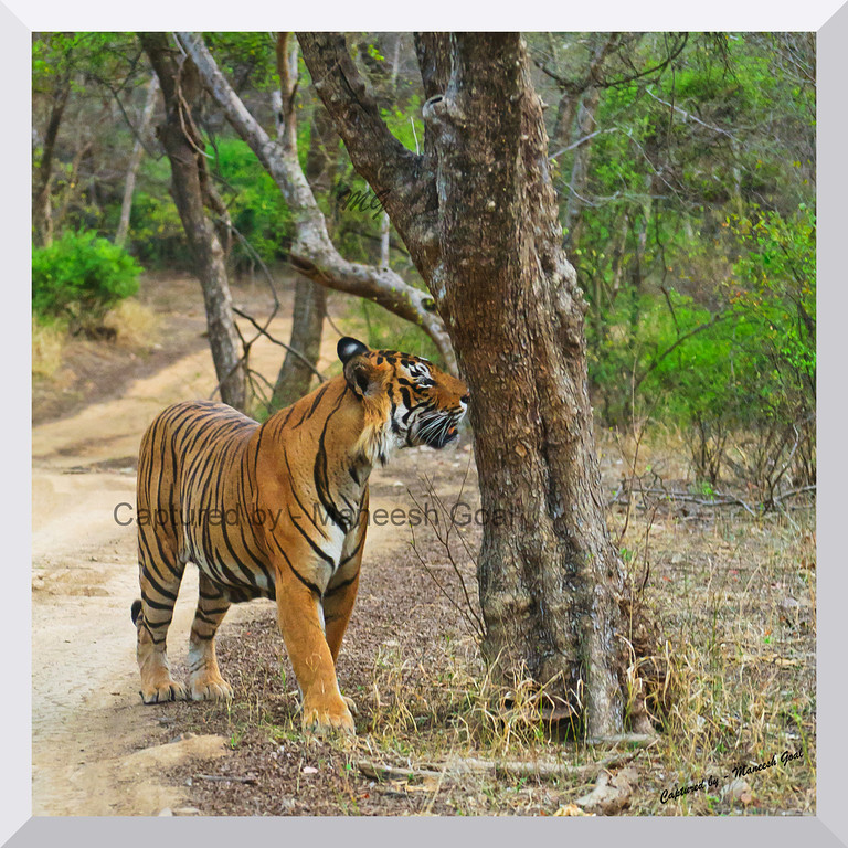 T-24 Male Tiger smelling the scent in his territory | Ranthambhore National Park, Rajasthan