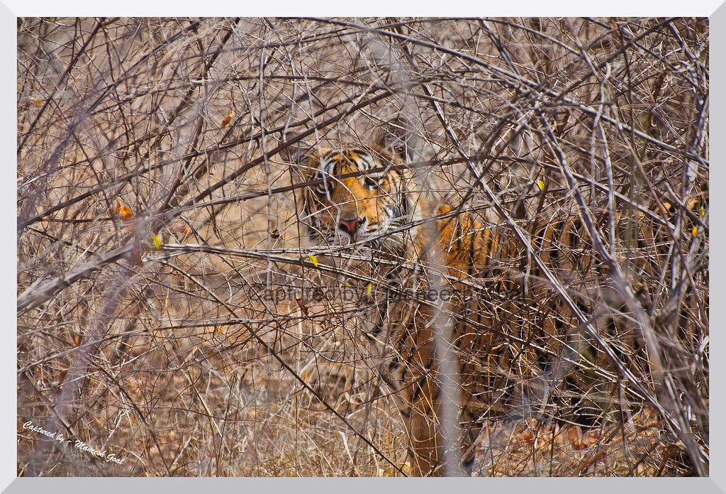 Sub-adult cub of T-19 behind bushes | Ranthambhore National Park, Rajasthan
