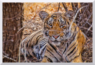 Sub-adult cub of T-19 | Ranthambhore National Park, Rajasthan