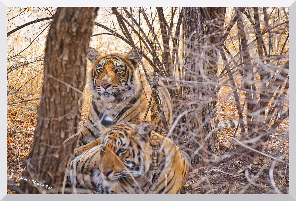 Why are you staring at my brother? | Sub-adult cubs of T-19 | Ranthambhore National Park, Rajasthan