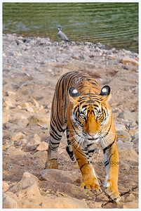 Out to get me...Sultanpur Tigress - Ranthambhore National Park, Rajasthan