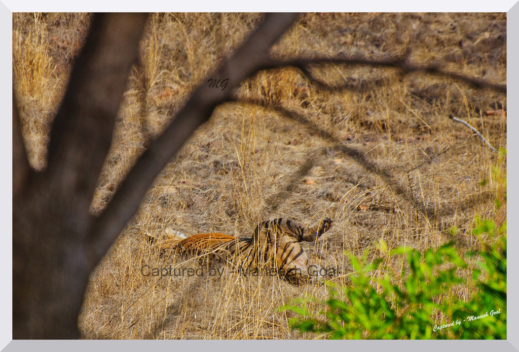 T-6 Male Tiger enjoying a lazy evening | Ranthambhore National Park, Rajasthan