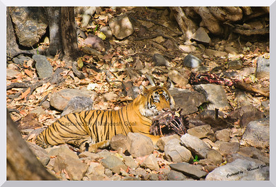 T-24 Male Tiger feasting on his Sambhar Deer Kill | Ranthambhore National Park, Rajasthan