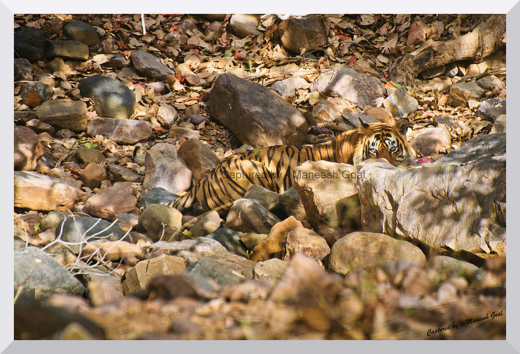 T-24 Male Tiger hiding behind the rocks | Ranthambhore National Park, Rajasthan