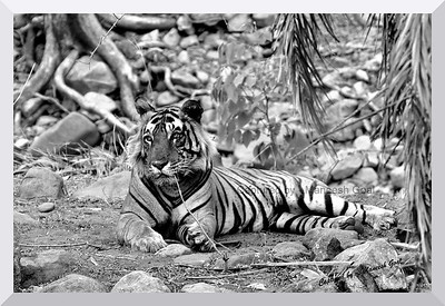 T-12 Male Tiger - Ranthambhore National Park, Rajasthan (he has now been shifted to Sariska Tiger Reserve) - he was injured in his left eye when we saw him (probably the result of some fight)