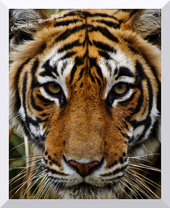 Portrait of Tigress (T-17 / Sundari), Ranthambhore National Park  T-17 or Sundari is the 4 year old daughter of the legendary tigress Machali (Machli). She has a radio collar around her neck which is used to undertake scientific studies on aspects such as tiger movement, extent of area covered, etc. It is strictly NOT used for tracking the tiger for the benefit of tourists during tiger safaris. The presence of a radio collar poses a peculiar problem for photographers... in that, nobody would love to have a picture of a wild tiger with a collar around its neck! The solution is to either photograph her from the front or at an angle such that the collar is not visible... but then, the angle is not under one's control since the tiger is the King of the jungle and it does not move as per a tourist's whims and fancies!
