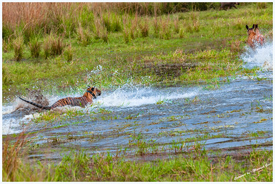 Tigress (T-17 / Sundari) charging after Sambar Deer for a kill inside the Rajbagh Lake, Ranthambhore National Park