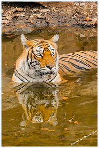 Legendary Machali (Machli) Tigress cooling herself in a pond - Ranthambhore National Park, Rajasthan