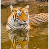 mybioscope > Legendary Machali (Machli) Tigress cooling herself in a pond - Ranthambhore National Park, Rajasthan