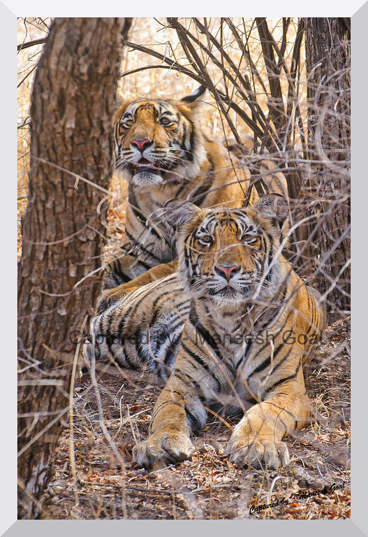 Sub-adult cubs of T-19 | Ranthambhore National Park, Rajasthan