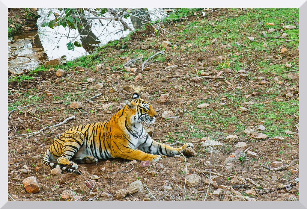T-17 (Sundari) Tigress (the collar has now been removed) | Ranthambhore National Park, Rajasthan