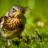 Screechbird