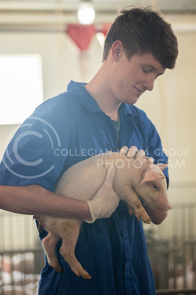 Dawson Burnett, Junior Biology-BS, Pre-Veterinary Medicine lives at the K-State Swine Unit. Dawson holds a piglet in the nursery barn. His main duties consist of pumping waste, power washing, filling feeders, giving shots to the pigs, and maintenance jobs. (Dylan Connell | Collegian Media)
