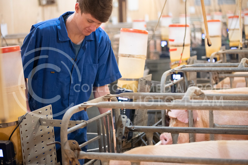 Dawson Burnett, Junior Biology-BS, Pre-Veterinary Medicine lives at the K-State Swine Unit. Dawson analyzes the pigs in the farrowing house. Majority of these pigs will be giving birth this following weekend. His main duties consist of pumping waste, power washing, filling feeders, giving shots to the pigs, and maintenance jobs. (Dylan Connell | Collegian Media)