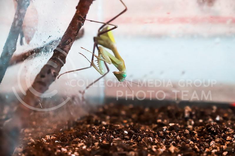A praying mantis on display. (Monica Melber | Collegian Media Group)