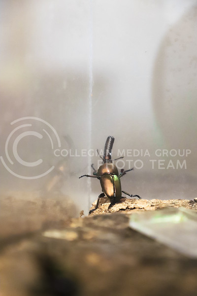 A type of iridescent beetle at the Insect Zoo. (Monica Melber | Collegian Media Group)