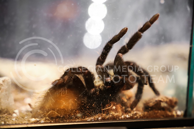 A bird-eating tarantula at the Insect Zoo. (Monica Melber | Collegian Media Group)