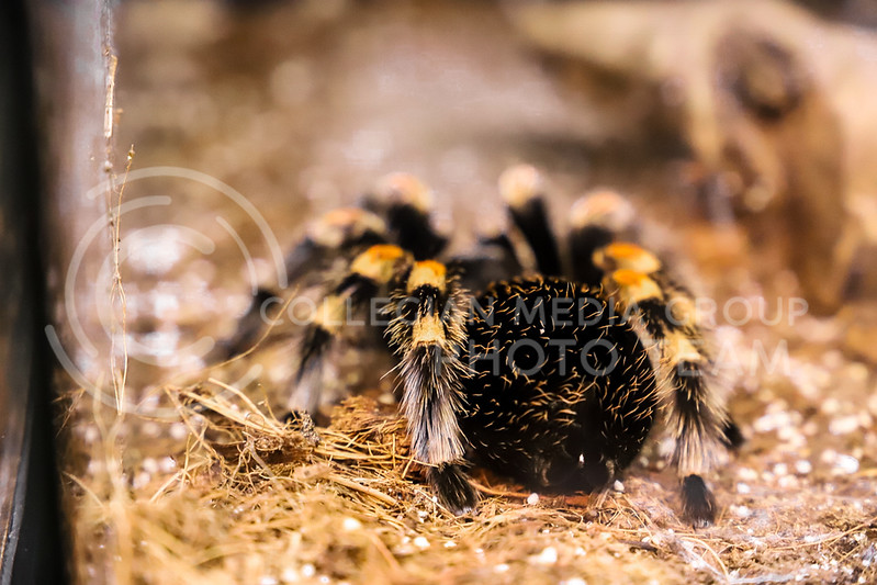 A tarantula in a display case at the Insect Zoo. (Monica Melber | Collegian Media Group)