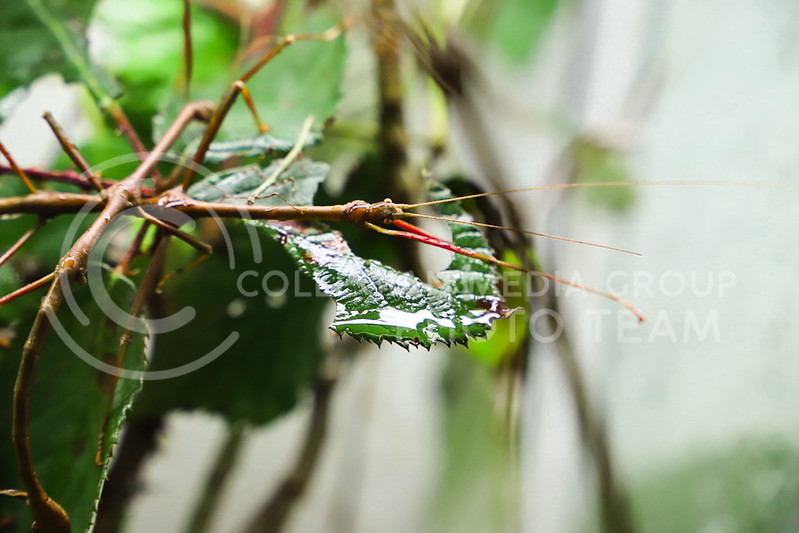 A walking stick species at the Insect Zoo. (Monica Melber | Collegian Media Group)