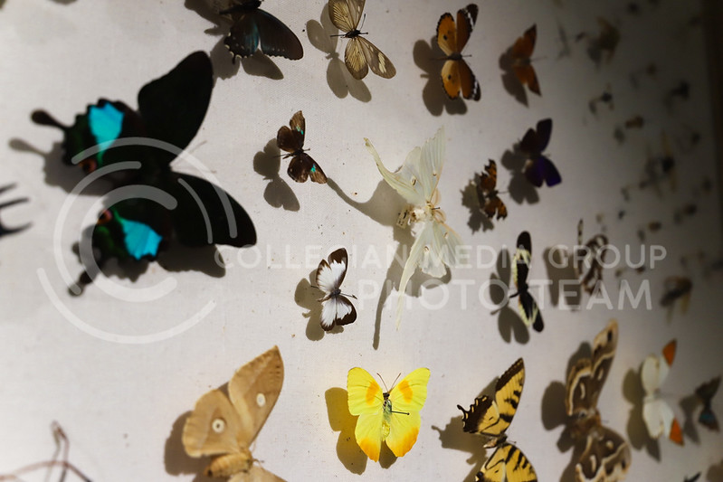 A variety of butterflies on a wall display at the Insect Zoo. (Monica Melber | Collegian Media Group)