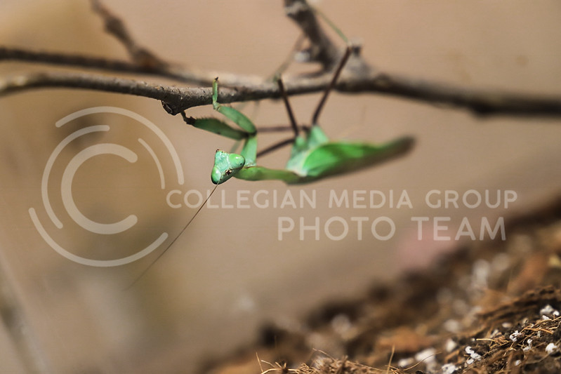 A praying mantis climbing a stick at the Insect Zoo. (Monica Melber | Collegian Media Group)