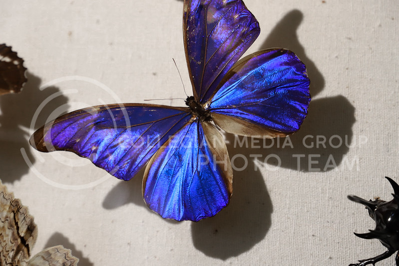 A blue morpho butterfly on display at the Insect Zoo. (Monica Melber | Collegian Media Group)